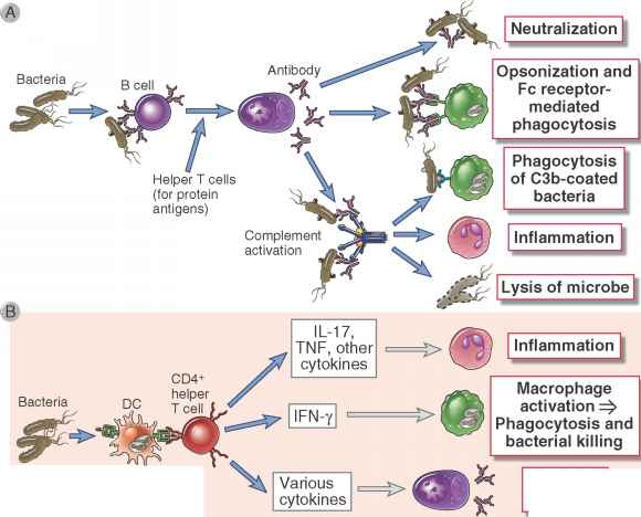 Cancer Immun System