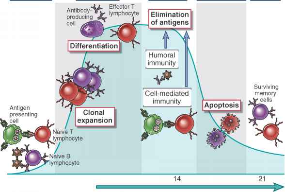 Stages The Immune Response