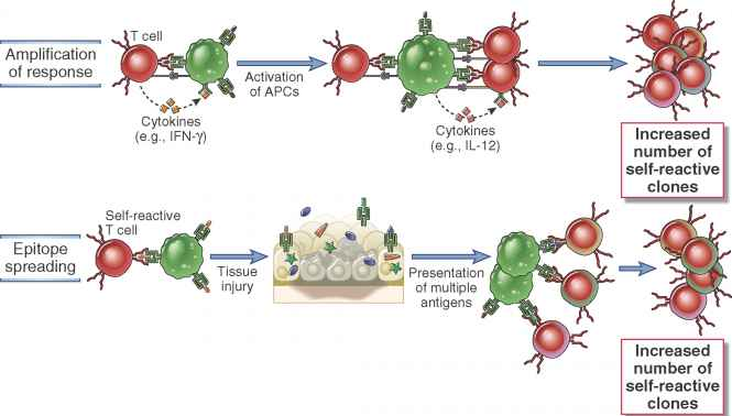 Postulated Mechanisms Autoimmunity
